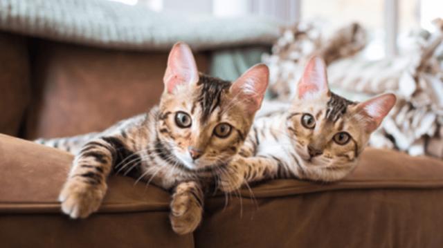 Védőoltás útmutató cicák számára