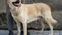 Labrador retriever jellegű Czukor gazdát keres