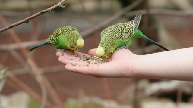 5 tévhit a papagájtartásról
