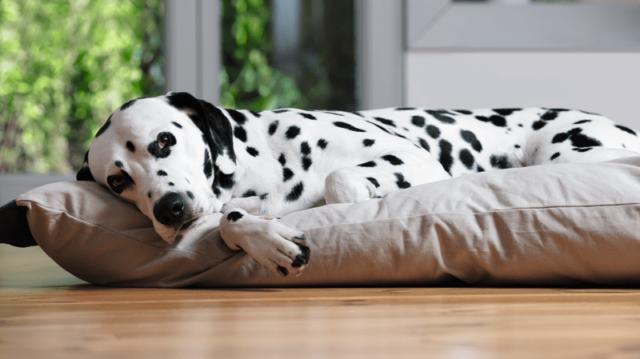 Őszül a kutyám! – Mit érdemes tudni?