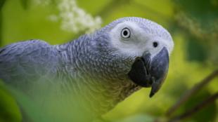 Hogyan tanítsuk beszélni a papagájt?